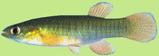 Fundulidae