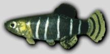 Cyprinodontinae