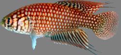 Simpsonichthys espinhacensis