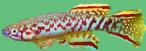Scriptaphyosemion