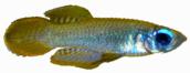 Poeciliidae