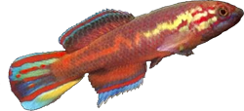 Callopanchax occidentalis