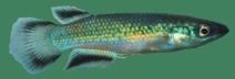 Pachypanchax omalonotus