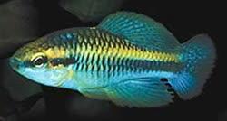 Cubanichthyinae