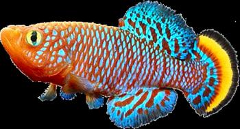 Cyprinodontiformes