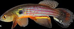 Neofundulus rubrofasciatus