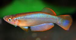 Procatopodinae