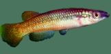 Pachypanchax
