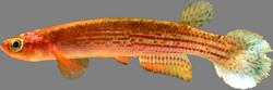 Rivulus (Anablepsoides) tocantinensis