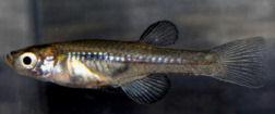 Aplocheilichthys