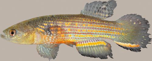 Neofundulus aureomaculatus