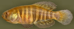 00-0-Copr_2014-W_Costa-Holotype-UFRJ_9797_male_35-2mm_SLt.jpg