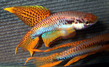 fwkillifish1057456859.jpg