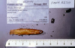 00-0-Copr_1975-Donald_Taphorn-Holotype-FMNH_57210t.jpg