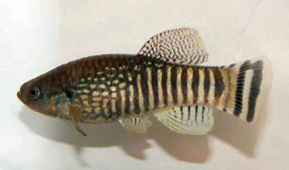 tissues 08 - Aphanius dispar dispar Laciris pelagica, Aphanius apodus