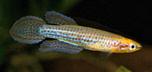 fwkillifishe1279998924t.jpg