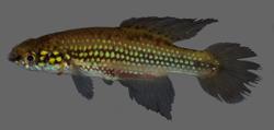 00-0-Copr-2016_W_Costa-holotype_UFRJ_10662t.png