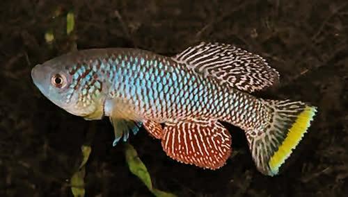 Nothobranchius furzeri