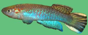 Archiaphyosemion guineense