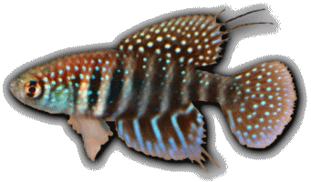 Simpsonichthys hellneri
