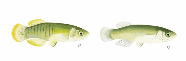 Valenciidae