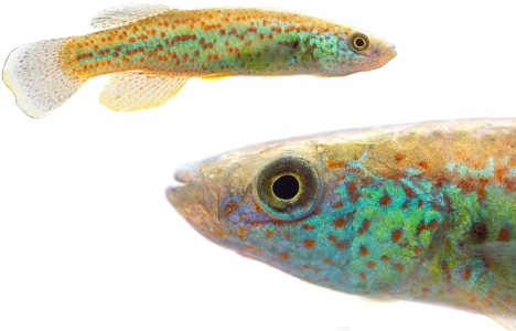 Fundulus julisia