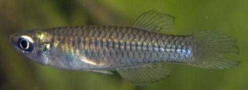 Rhexipanchax - Rhexipanchax nimbaensis Huber, 1999.
