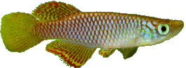 Poropanchax luxophthalmus
