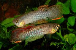 stats incubation - Nothobranchius furzeri Species with the longest incubation times
