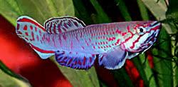 Callopanchax-monroviae1t.jpg