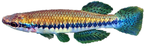 infoweb 14 -  A major review of Fundulus and allied genera, with a lumping taste