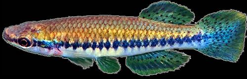 Zygonectes