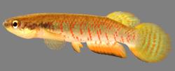 00-0-Copr_2018_WEJM_Costa-Holotype_UFRJ_8434-male_27-6mm_SLt.png