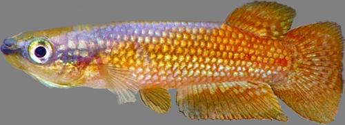 Aplocheiloidei Aplocheilidae