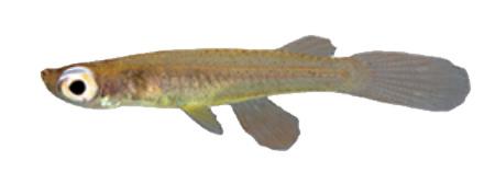 Fluviphylinae
