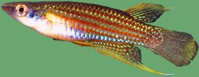 Pachypanchax sakaramyi