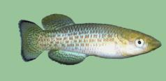 Aplocheiloidei