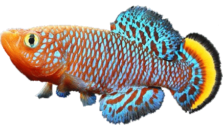 fish Cyprinodontiformes