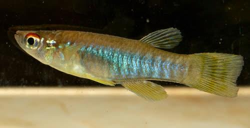 Aplocheilichthyinae