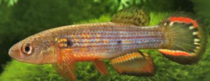 Cynolebiidae - Neofundulus splendidus Hoedeman, 1961