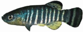 Cyprinodontidae