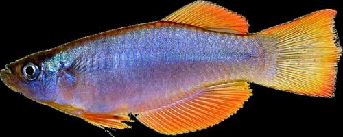 Procatopodidae