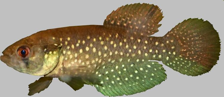 Cynolebiina