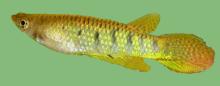 Aplocheilidae -  Family Aplocheilidae Bleeker, 1859